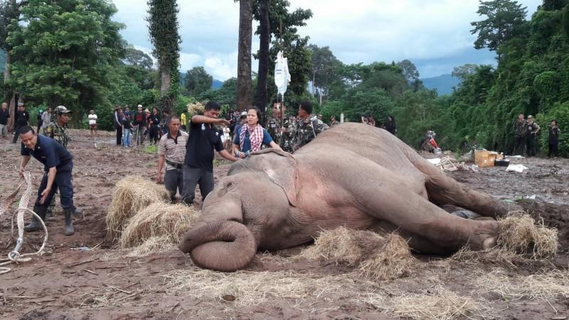 ช้างป่าพ้นวิกฤติกินอาหารได้แล้ว