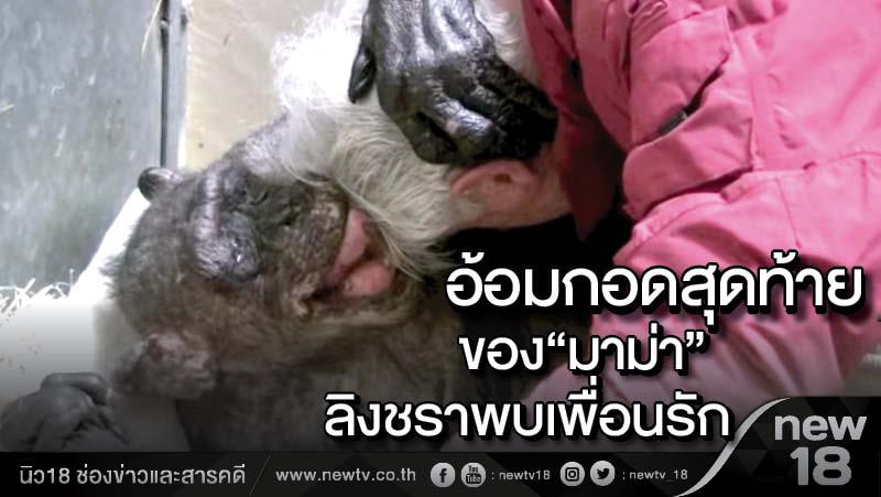 อ้อมกอดสุดท้ายของมาม่า ลิงชราพบเพื่อนรักก่อนหมดลม (คลิป)